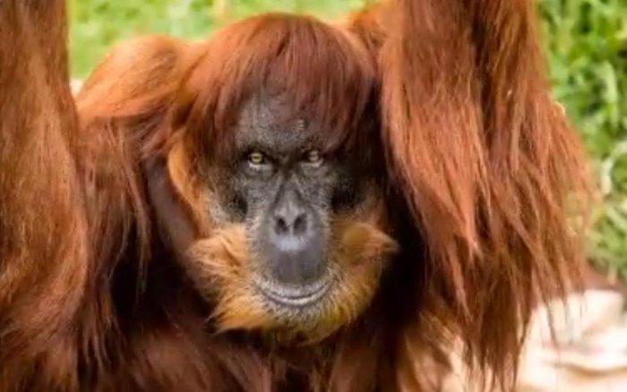 The world's oldest Sumatran orangutan. Screen grab