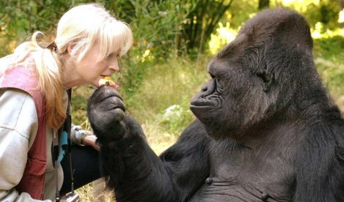 Koko was among a handful of primates who could communicate using sign language.Image courtesy Twitter