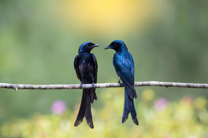 Pair of Bronze Drongo bird (Dicrurus aeneus) facing each other, bokeh background