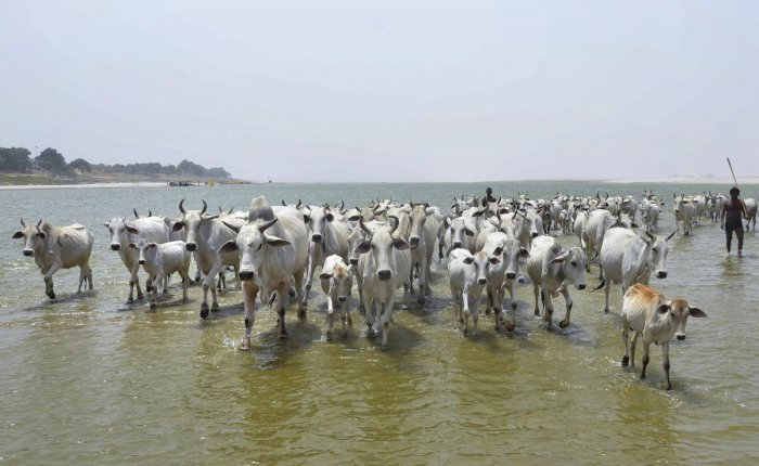 A herd of cows walk in the water of river Ganga on a hot summer day, in Mirzapur on Tuesday, June 12, 2018. (PTI Photo)