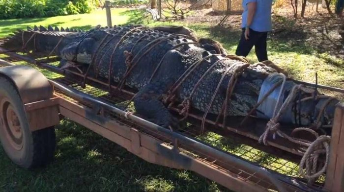 The 4.7-metre (15.4-foot) beast was found in a trap downstream from the northern outback town of Katherine after first being spotted in 2010. (Screenshot from a video shared on Twitter)