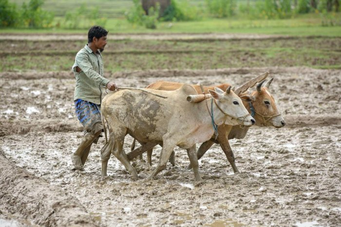 Farmers in Rajasthan have planted pulses on 14.09 lakh hectares, which is 2.5 lakh hectares more than the normal for this time of the season. However, farmers in the state had planted pulses on 22.41 lakh hectares of farm land for the corresponding period last year. PTI file photo