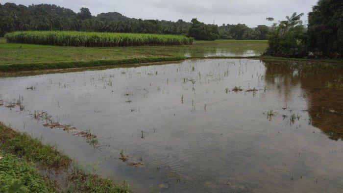 Paddy fields inundated at Moodushedde.