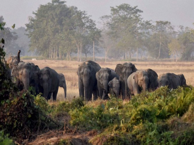 Chief Wildlife Warden C Jayaram told DH that the department had already submitted its response to the Ministry of Environment and Forests (MoEF) on the actions taken by the department on securing the elephant corridors. (PTI File Photo)