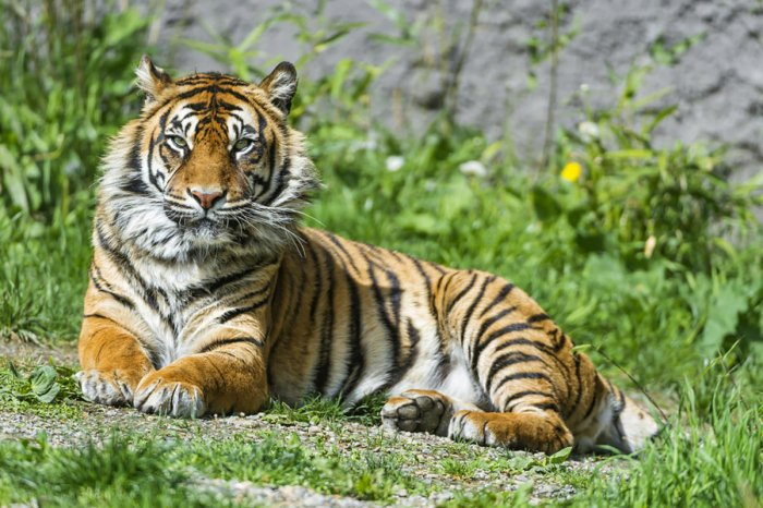 The population of tigers is on the rise, the government said on Monday quoting preliminary census data. DH file photo