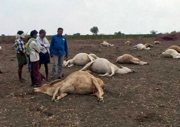Thirty-six cows were found dead at a cowshed in the Najafgarh area in Dwarka today, following which the Delhi government ordered an inquiry into the matter. File photo for representation only