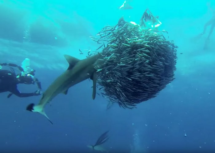 The 'Sardine Run' is a seasonal natural phenomenon that attracts a worldwide following of fish pilgrims. Screen Grab