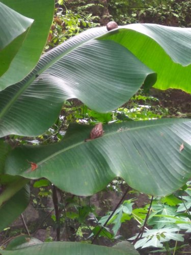 African Giant Snails on planatin leaves.