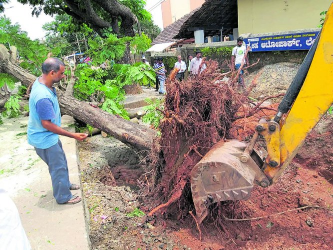 A tree at Lady Hill Circle in Mangaluru being removed for translocation on Monday.