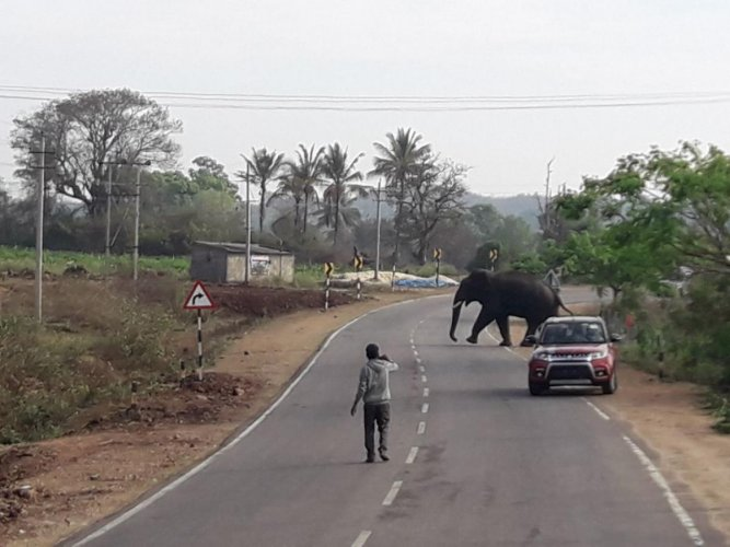 An elephant crossing the road.