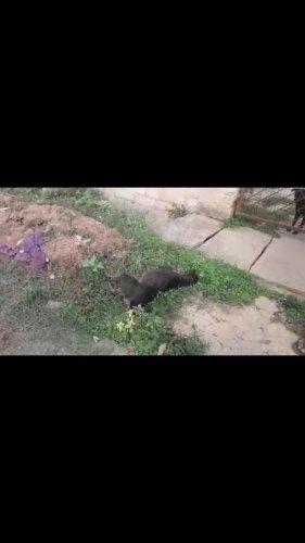 Poisoned stray dogs in Kodigehalli