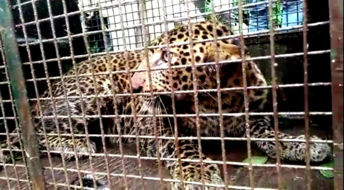 The rescued leopard.