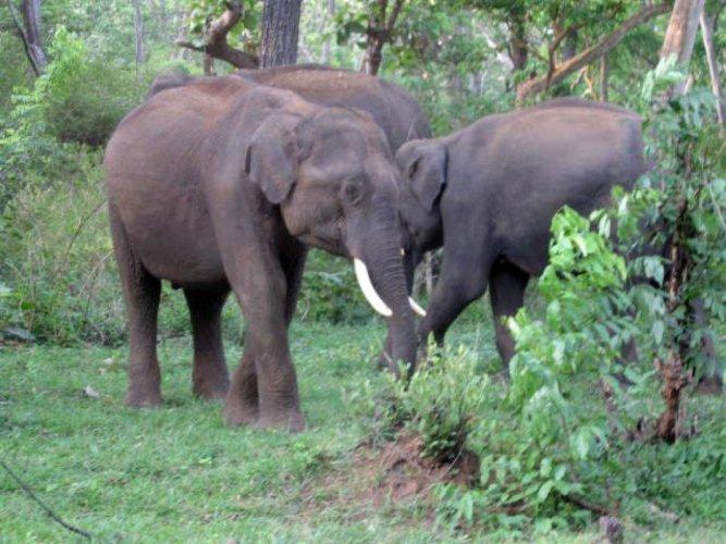 Jumbos at the Nilgiris Elephant Corridor. DH Photo
