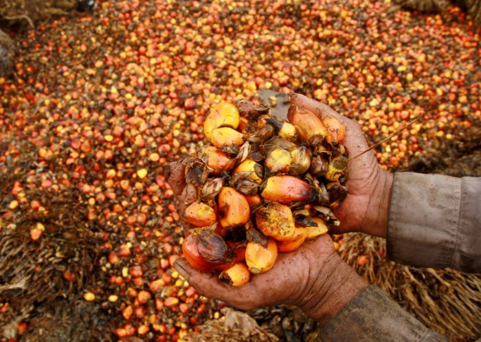FILE PHOTO - A worker shows palm oil fruits at a palm oil plantation in Indonesia. Reuters