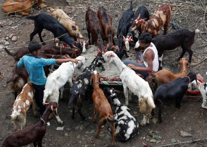 Boys feed goats as they wait for customers at a livestock market ahead of the Muslim festival of Eid al-Adha in Kolkata. (Reuters photo)