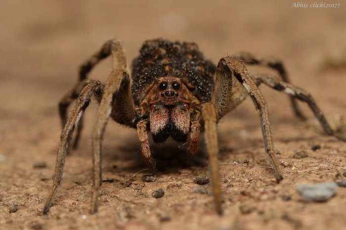 Helpful critters: Spiders are excellent at pest control and better than man-made pesticides. Ground spiders are also great at detecting soil toxicity. PHOTO: Abhijith APC