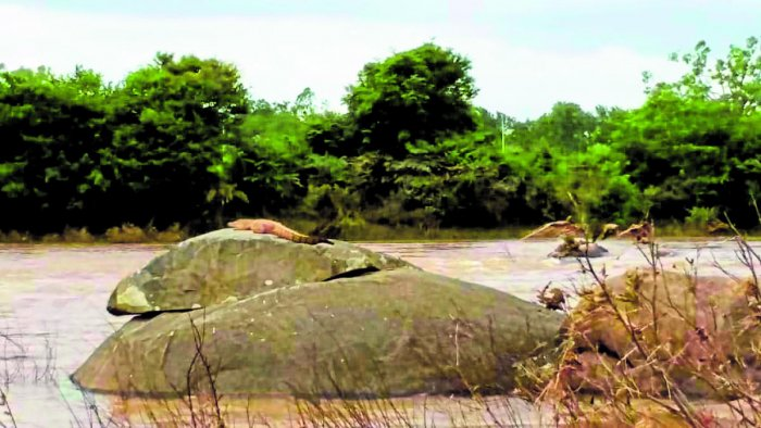 A crocodile spotted on a rock in Cauvery river near Ramanathapura in Hassan district on Sunday. DH PHOTO