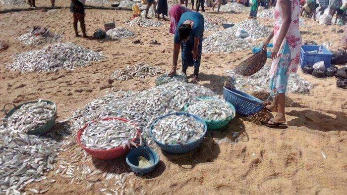 Silver fish washed to the shore at Amasekariya in Hejamady on Wednesday.