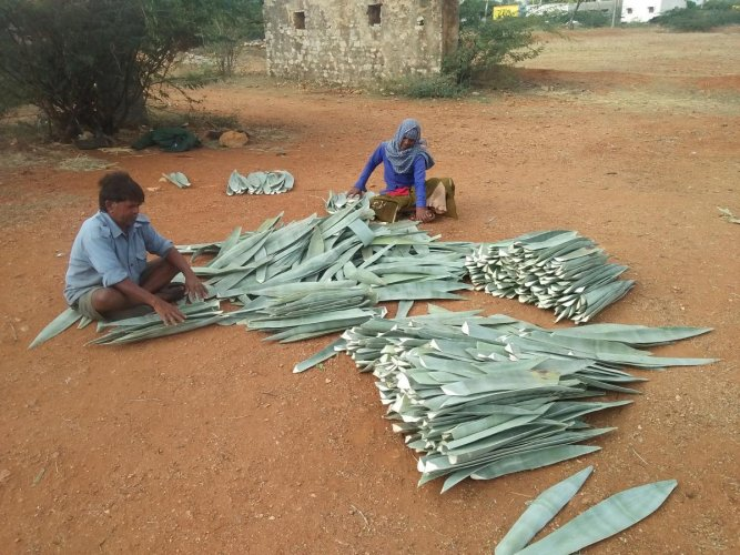 alternative livelihood Residents of Kurudi Lambani Tanda arranging agave leaves; feeding the leaves to machines.photos by author