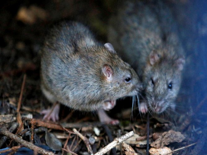 The man lived in a housing estate where there were signs of rat infestation outside his home. AP/PTI Photo