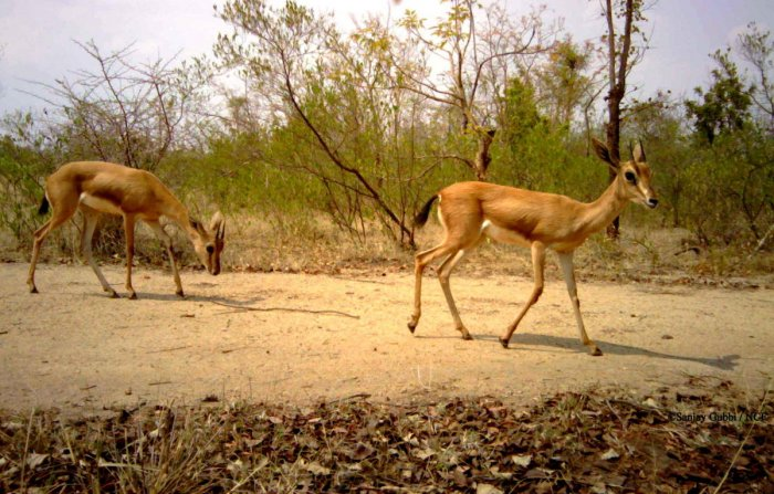 Chinkaras at the Bukkapatna forests in Sira taluk. Conservationist Sanjay Gubbi of Nature Conservation Foundation has recorded the deer species in the grasslands of Sira and Chikkanayakanahalli taluks. DH FILE PHOTO