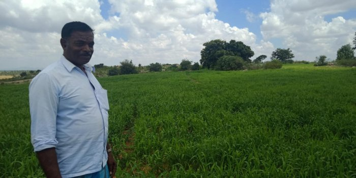 Farmer Shettihalli Mallikarjuna in the backdrop of Baragu millet cultivated by him.
