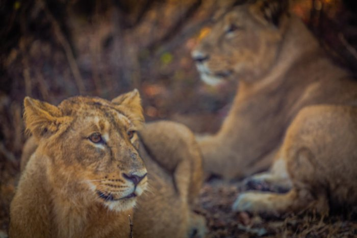 Asiatic lions in Gir Forest National Park, Gujarat