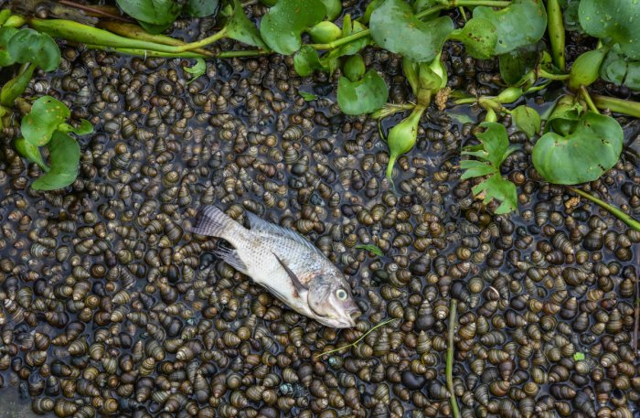 Dead fish and snails in the Madiwala Lake. DH photo