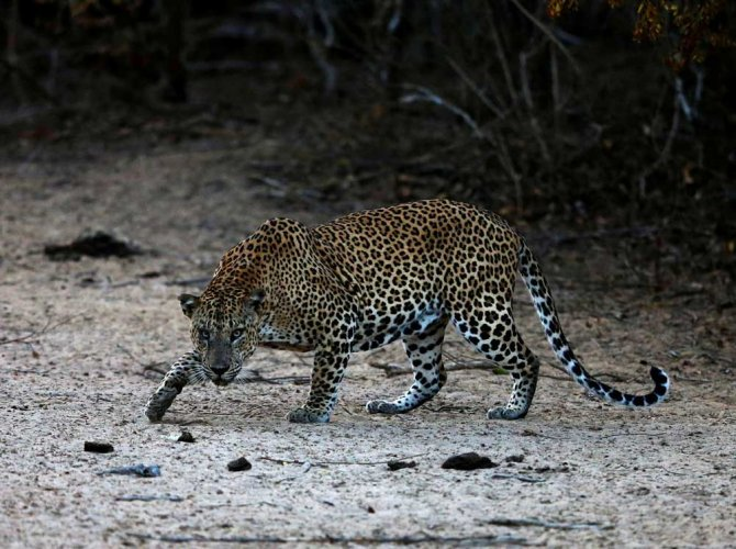 On several occasions, leopards that were housed at the BBP have escaped by scaling the fence and leaping over it. Reuters file photo