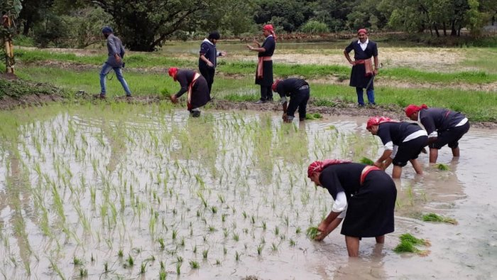 CNC members transplant paddy seedlings, in Madikeri as a part of Kakkada Padnett Namme on Friday.