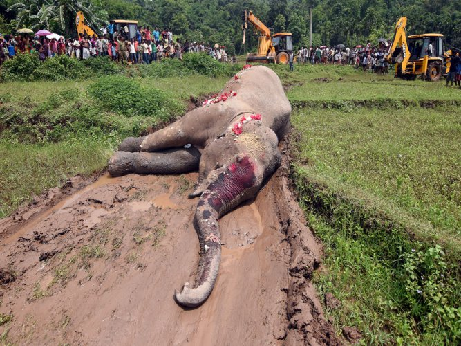 A female elephant, Maithili, died of a heart attack on Tuesday at Dubare elephant camp. PTI file photo for representation only