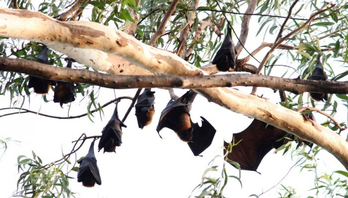 Bats on a tree at the KIMS premises in Hubballi.