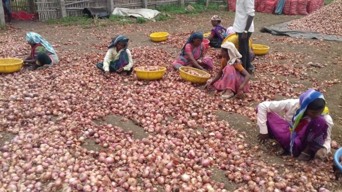 Workers separate onions in good condition from rotten ones at a stocking yard in a village of Vijayapura district. dh photo