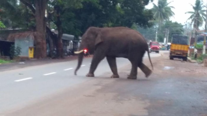 The elephant, however, did not cause any damage to lives and property police said.