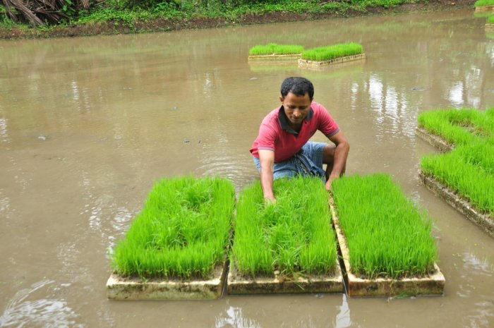 Vijay Kundar Ullal with the paddy seedlings being grown on thermocol boxes.