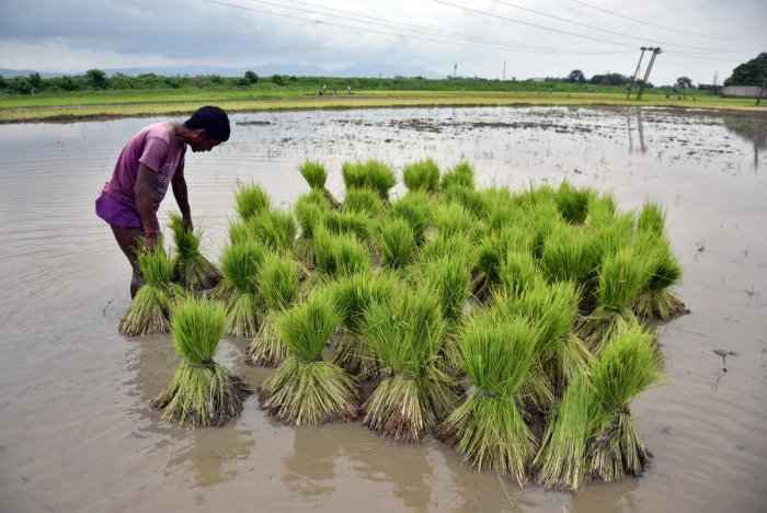 A farmer gathers saplings to be planted at a paddy field in a village in Nagaon district, in the northeastern state of Assam. (Reuters Photo)