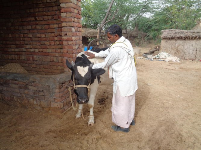 A dairy farmer in a village of Nuh, in the Mewat region.