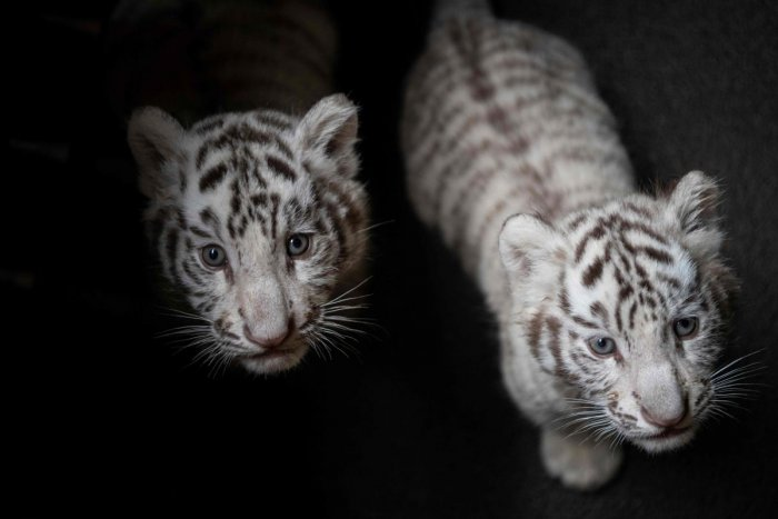 Two of the three newborn white Bengal tiger cubs in Yunnan Wildlife Zoo in Kunming, Southern China on October 12, 2018. AFP