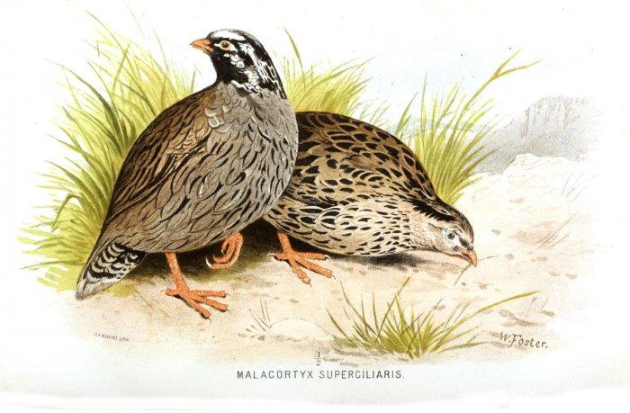 Illustration of Himalayan quail.Wikimedia commons
