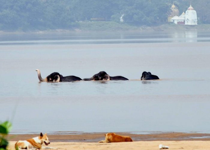 A herd of elephants cross Mahanadi river near Naraj, in Cuttack, on October 15, 2018. The elephants were rescued by forest department officials after they were caught in the river current. PTI
