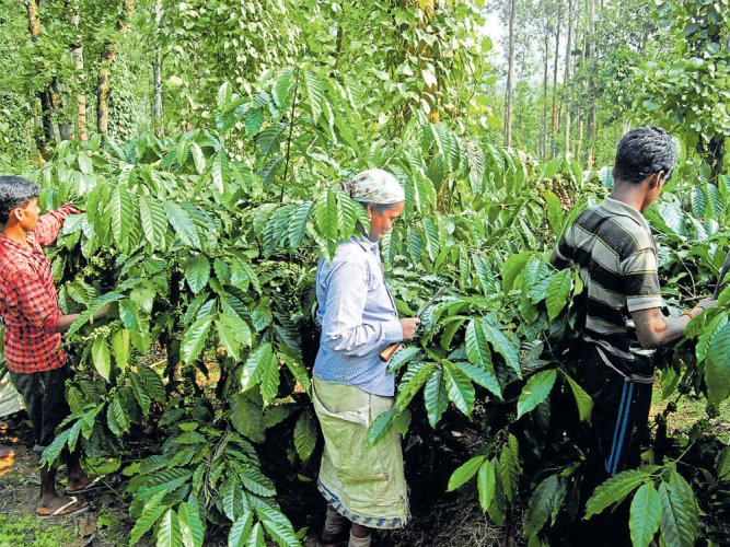 The coffee industry in Kodagu has been severely affected as more than 4,000 acres of coffee crops have been lost due to the natural calamity in the district. File photo