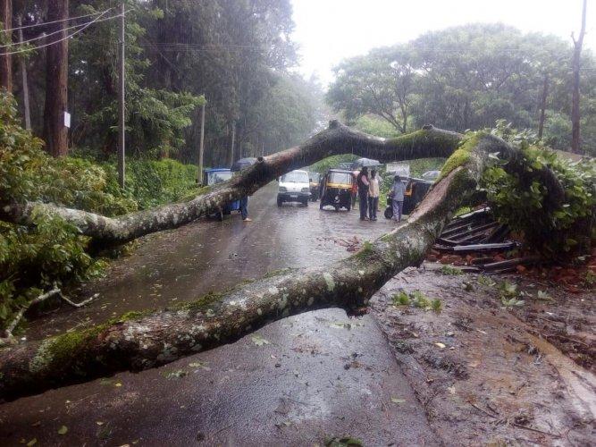 A tree has fallen on Kandakere bus stand on Chettalli-Suntikoppa Road.