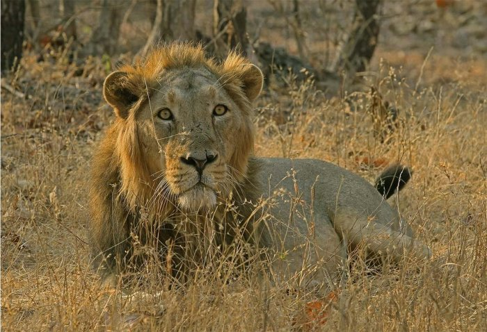 The Supreme Court on Wednesday asked the Centre to ascertain the reasons for the death of 23 lions in Gujarat's Gir sanctuary in the last three weeks.
