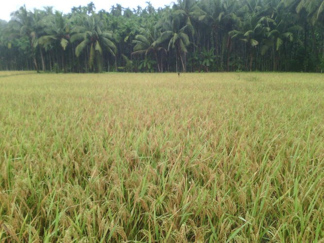 Paddy crop ready for harvest at a field in Puttur in Dakshina Kannada.