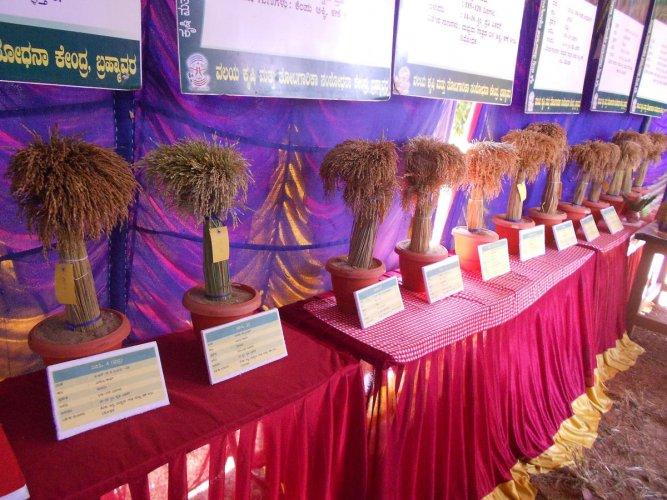 Varieties of paddy displayed at Krishi Mela at Brahmavar on Saturday.