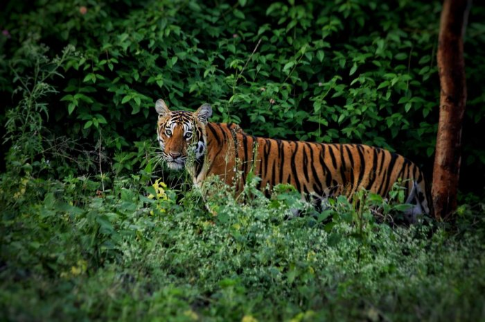 According to the Alwar police, a reported poacher identified as 30-year-old Sarfuddin has admitted to have shot dead the tigress, ST-5, and selling her skin for Rs 1.5 lakh. Representative image
