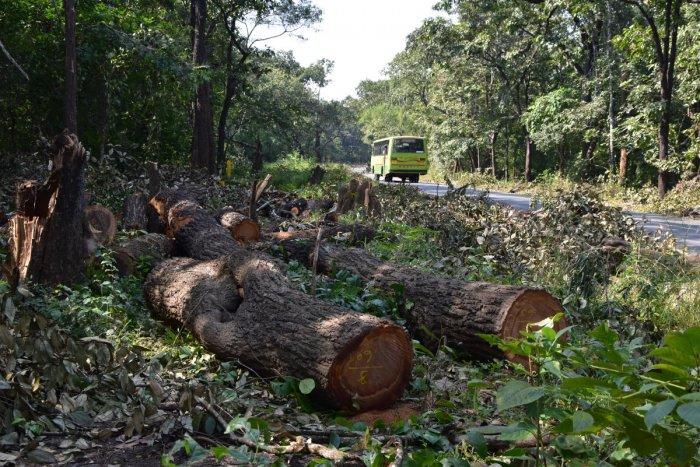 Trunk of trees that were cut on Khanapur-Londa Road inside Londa Forest Range in Belagavi district. DH Photo by Pavan Kumar H