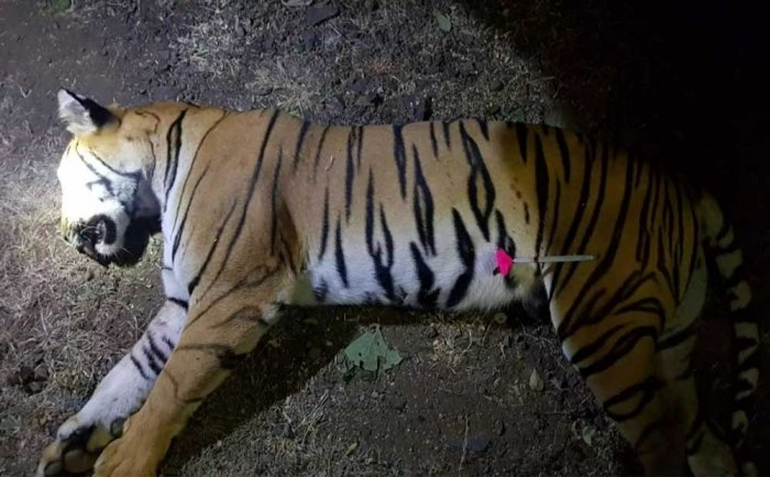 Animal lovers and wildlife experts were outraged by the killing of tigress T1, popularly known as Avni on Saturday. DH photo