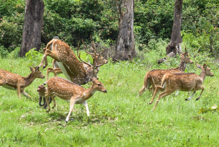According to the official, the keepers overfed the deer in their enthusiasm as the animals ate the leaves with relish.(DH file photo)