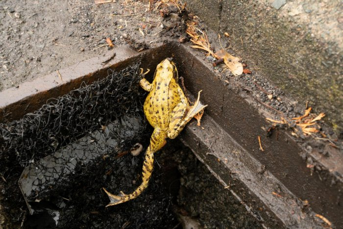 The issue of trapped toads is not limited to Britain. A 2012 study in the Netherlands estimated that more than half a million small vertebrates like frogs, toads and newts end up trapped in gully pots and drains each year. (Reuters Photo)